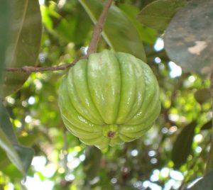 garcinia-cambogia-pianta